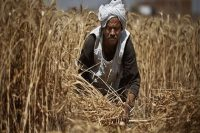 Egypt's domestic wheat purchases reach 4.8 mln tonnes