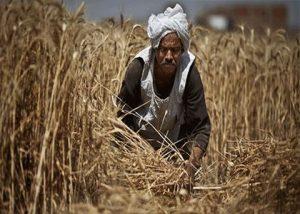 egypt-wheat.hotcairo